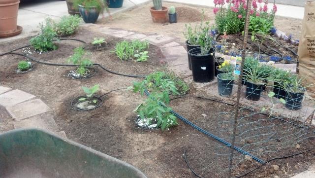 Garden Guru AZ Front Yard Plantings 2